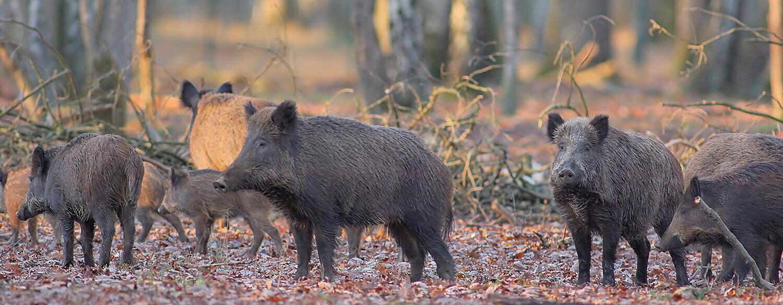 Wild Pigs 1500x580