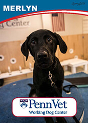 Merlyn, Penn Vet Working Dog