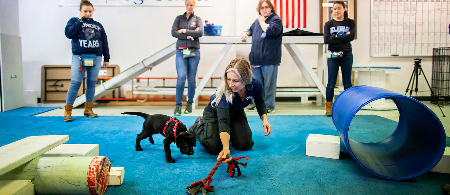 These black labradors are puppies from two Penn Vet Working Dog graduates.