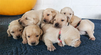 Zzisa puppies, Working Dog Center