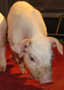 Piglet in Swine Unit at New Bolton Center