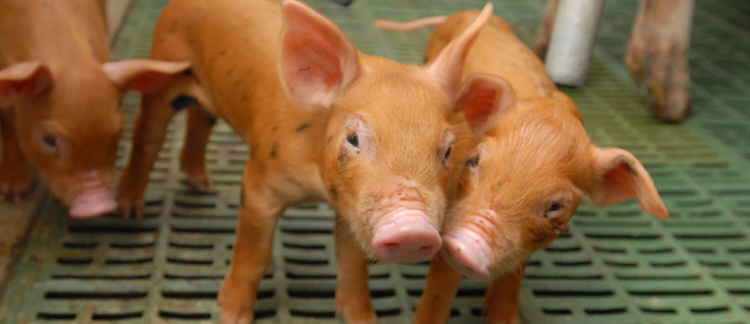 Piglets at New Bolton Center