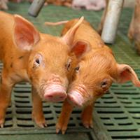 Swine Center in the news