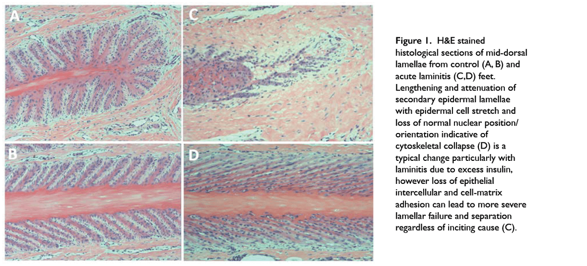 H&E stained histological sections of mid-dorsal lamellae