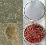 Canine Stem Cells