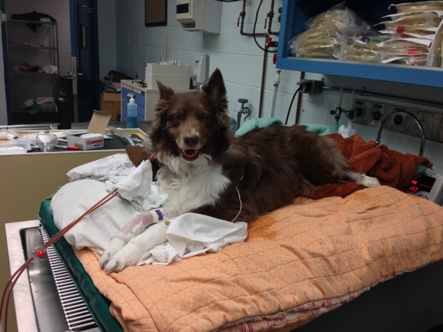 Canine hemodialysis patient at Penn Vet