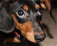dachshund, Penn Vet, Ryan Hospital, behavior