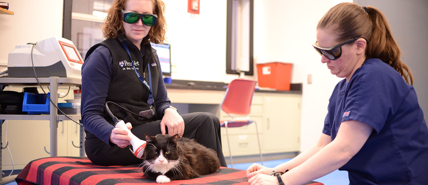 Laser therapy is also useful for feline arthritis
