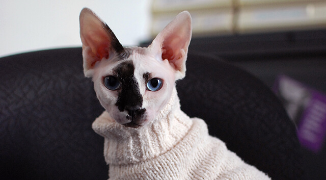 Hairless cat, Penn Vet Dermatology