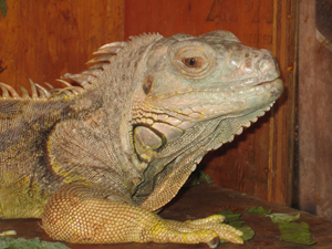 Penn Vet, Exotics, iguana