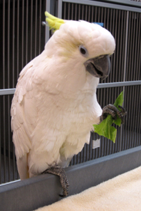 Penn Vet, Ryan Hospital, exotics, cockatoo
