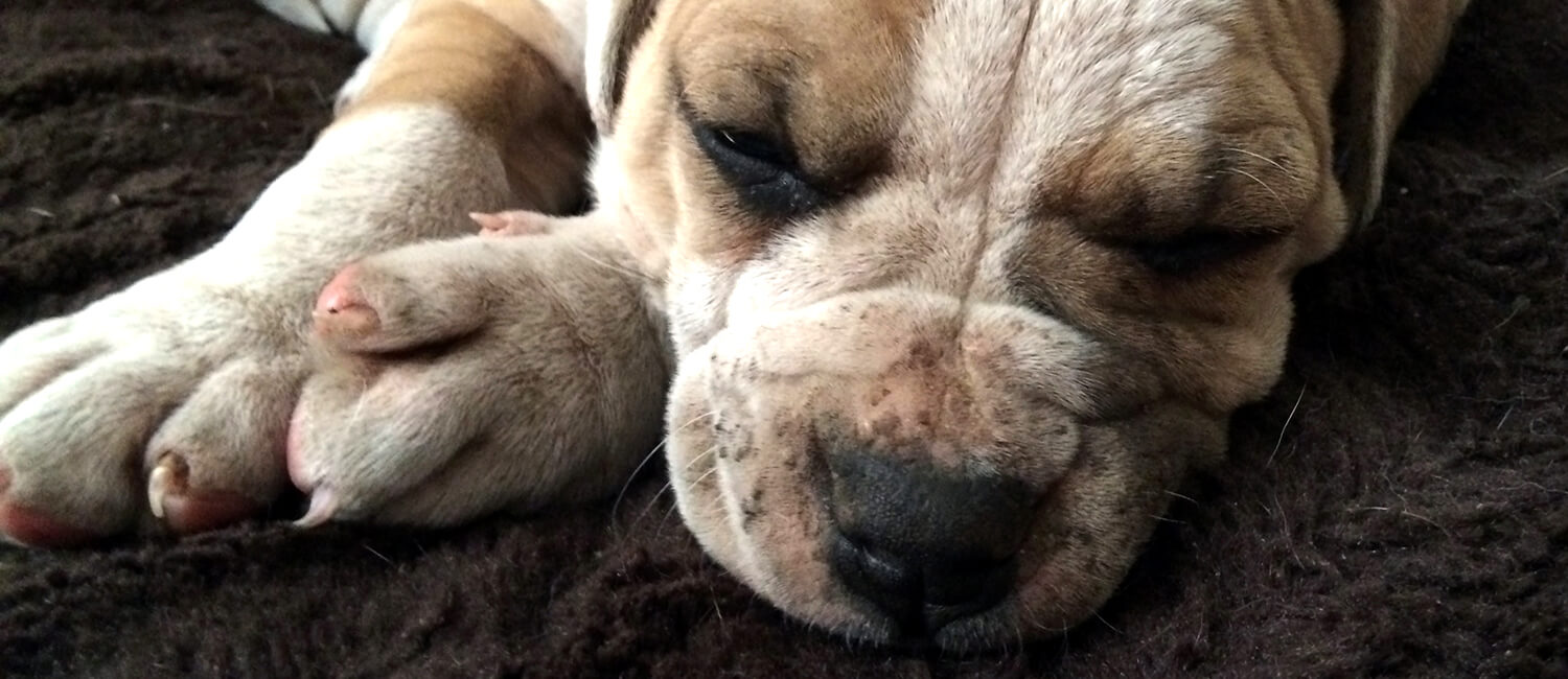 Ichthyosis-A Skin Disorder Affecting Dogs and Humans