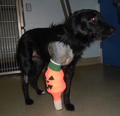 Special surgical bandage for Brody