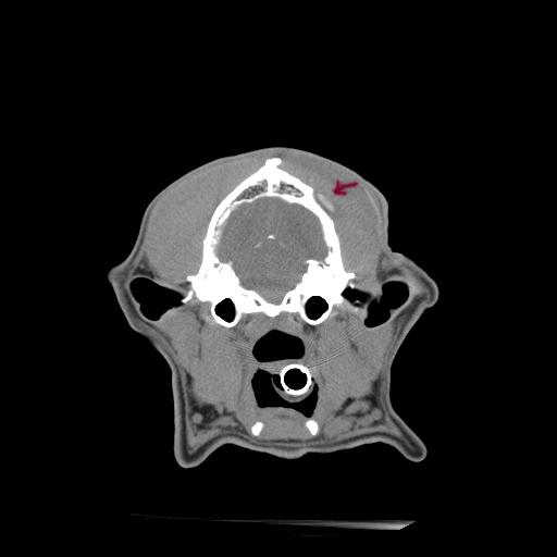 (b) German Shepherd Cranium