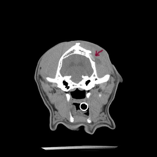 (c) German Shepherd Cranium